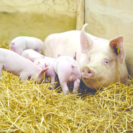 Shutterstock sow and piglets3489026 detail