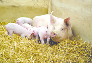 Shutterstock sow and piglets3489026 listing