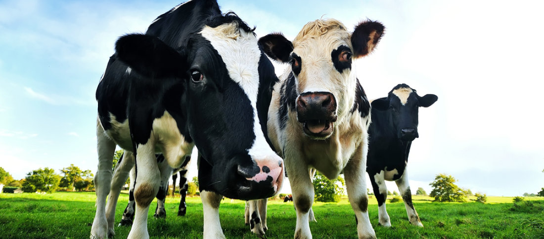 Feeding Dairy Cows Fat Is It Cost Effective