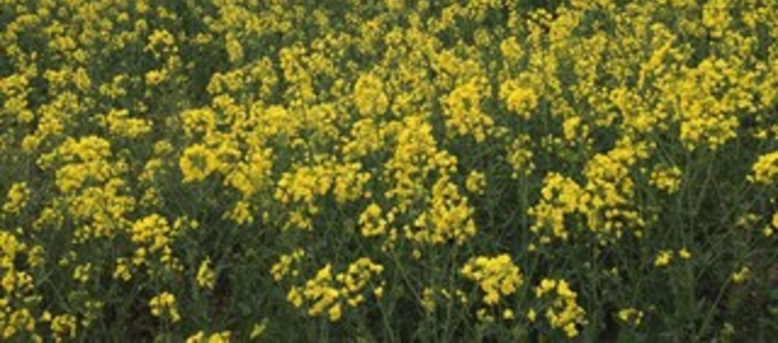 Rapeseed field banner