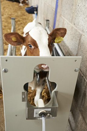 calf on feeder