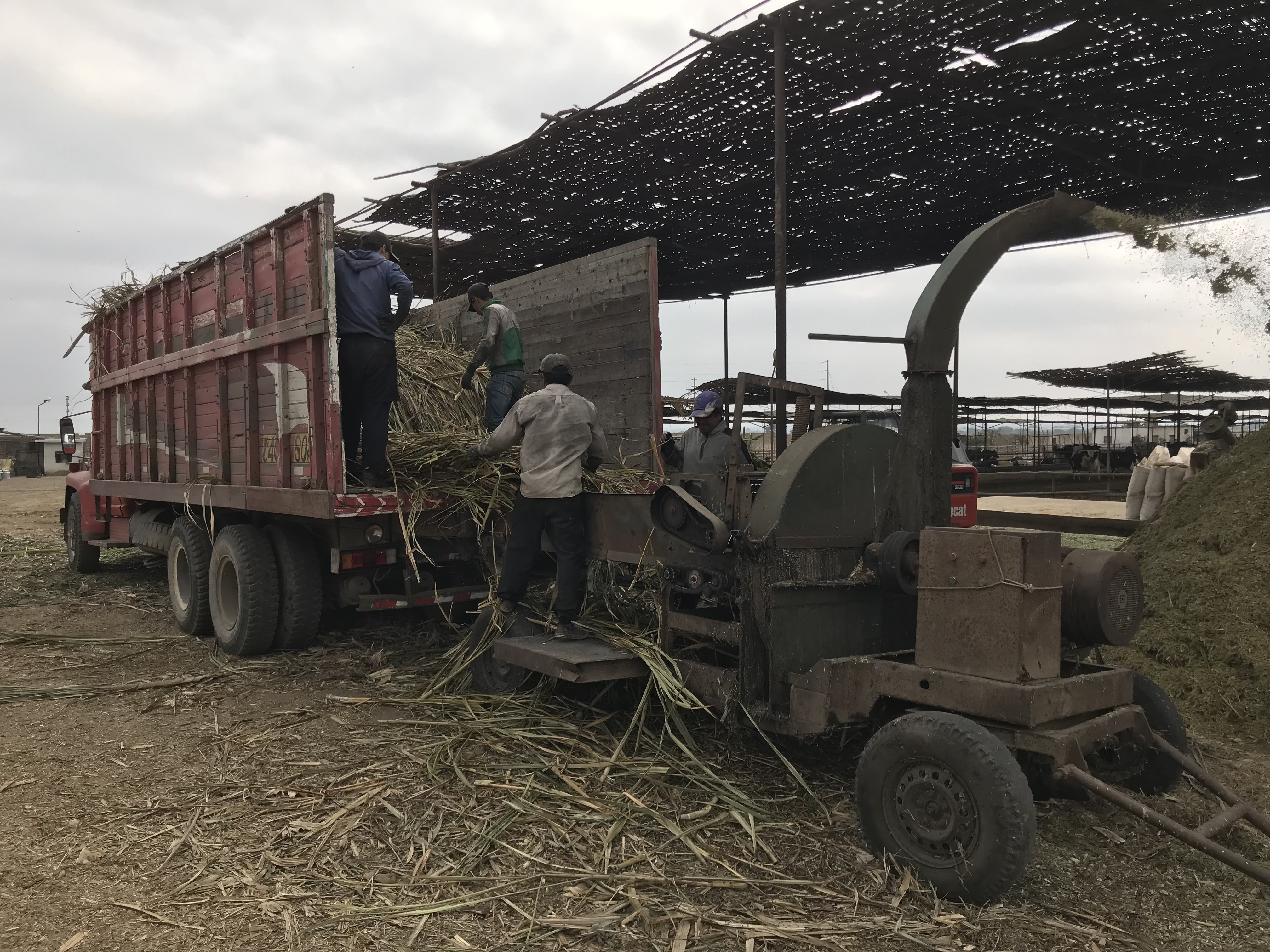 Maize plants into chopper from lorry